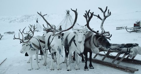 YAMAL. A herd of harnessed reindeers standing in front of hovel . Shot on red epic 4k
