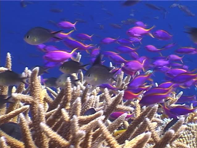 Purple anthias (Pseudanthias tuka) swimming underwater in Papua New Guinea