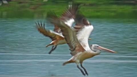 Amazing wildlife moment of two pelicans take off from water and fly in Sri Lanka