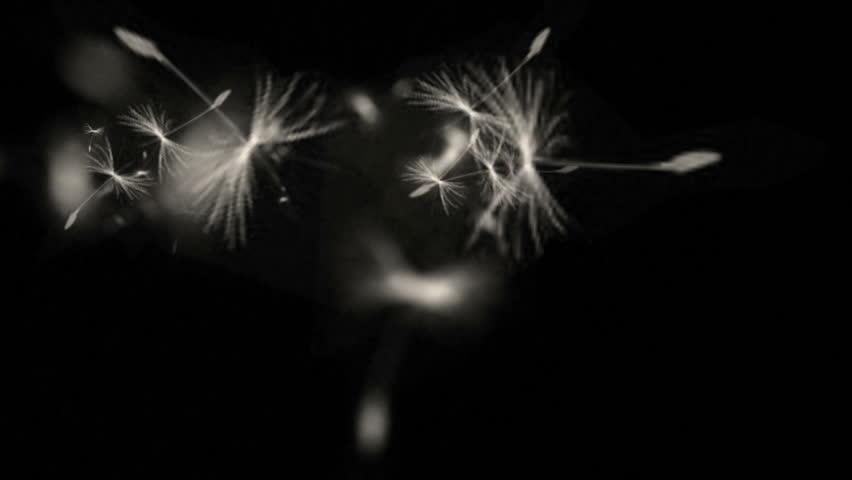 4k Flying dandelion catkins particle background. 6550_4k