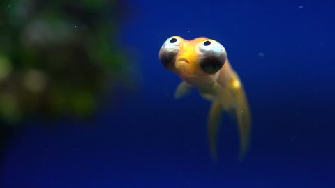 Close Up of A Strange Big Eyed Fish Swimming in Slow Motion