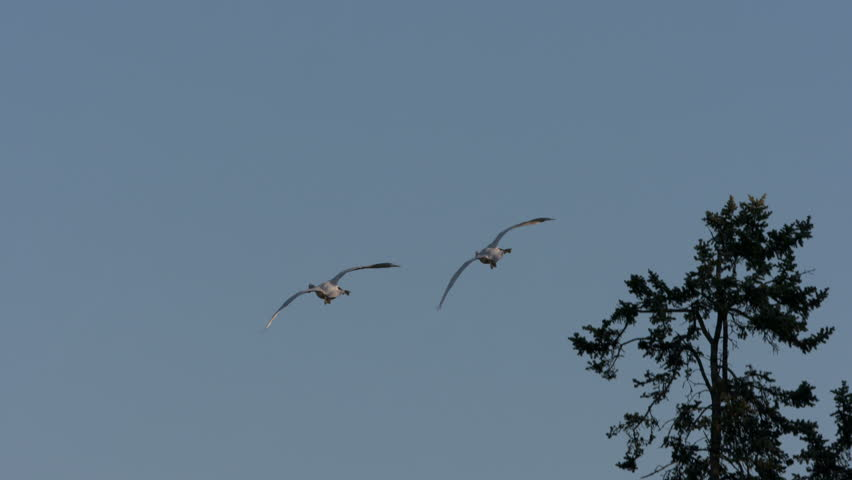 Trumpeter Swans In Flight | Shutterstock HD Video #22478689