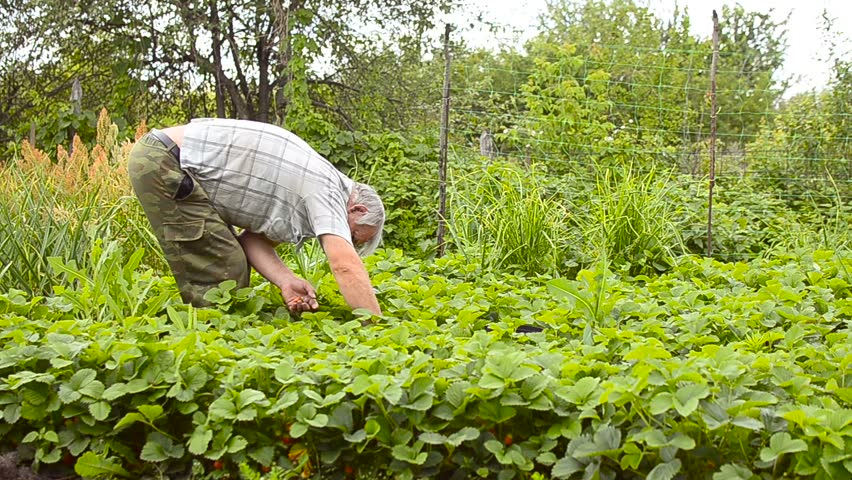 Man collects a strawberry in the garden, while collecting berries. Strawberry harvest season.