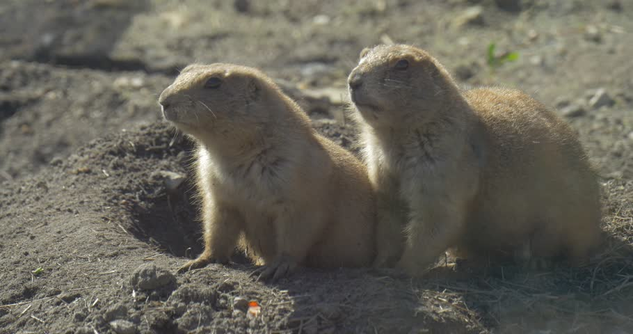 Two Gophers at the Entrance to the Hole Are Watching With Caution. European Ground Squirrels. European Souslik, Spermophilus Suslicus. Cute Animals With a Sweet Face. Small Piles of Soil at the