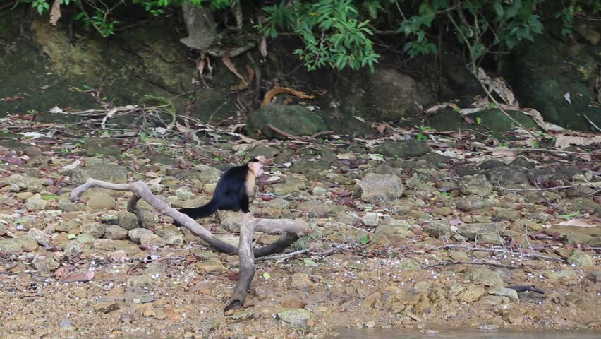 Monkey Island, Panama, Central America: Wild White-Faced Capuchin (Cebus capucinus) resting on the seashore | Shutterstock HD Video #22563469