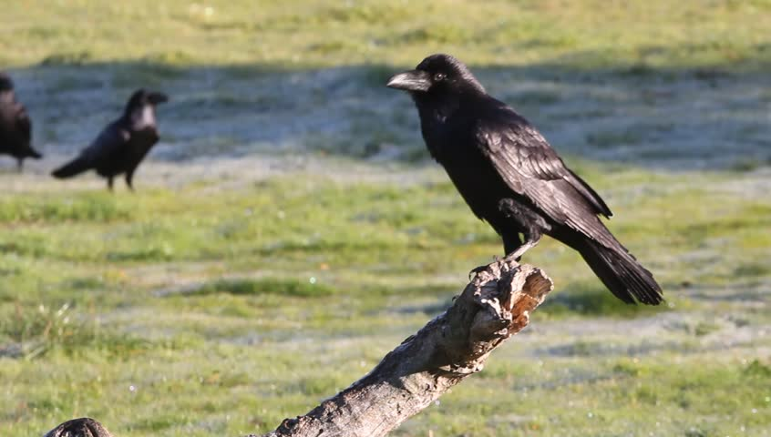 Common raven. Corvus corax