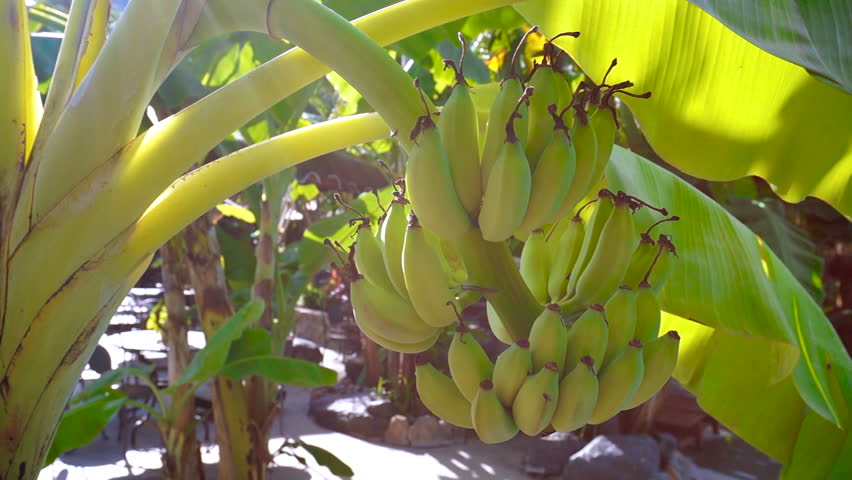 The sun's rays make their way through the leaves of banana trees. Bundles of bananas growing on a green tree.