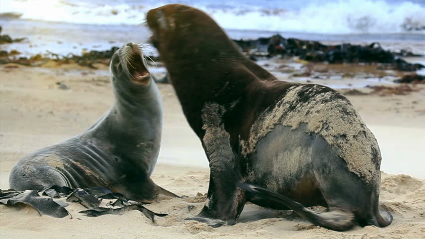 New zealand sea lions mating dance on the shore #2268419