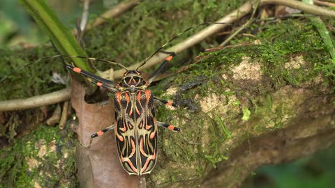 Female Harlequin Beetle (Acrocinus longimanus). The male has even longer front legs. A very large beetle from the Amazon, well known for carrying pseudoscorpions and mites under the elytra.