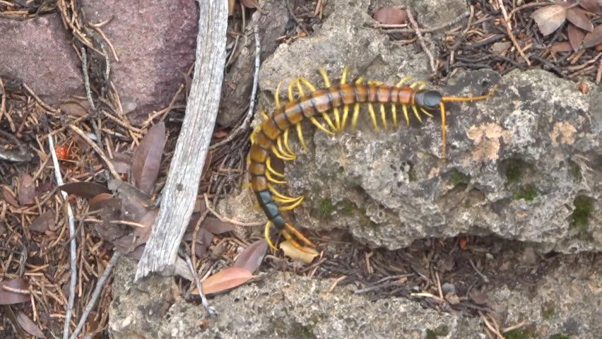 Venomous Giant Desert Centipede On Stock Footage Video 100