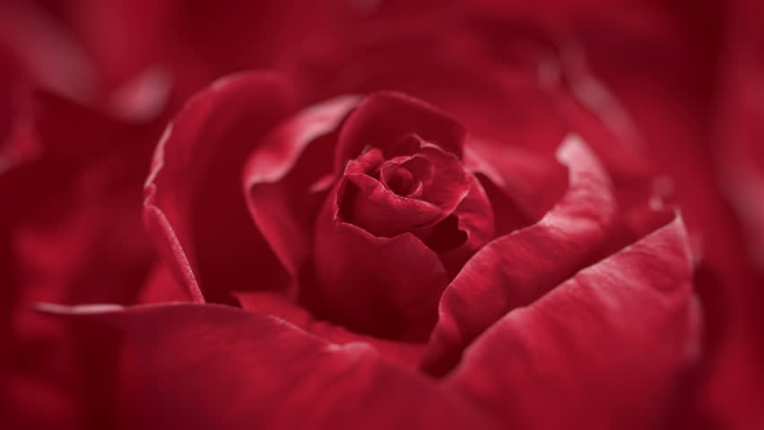 Close up of opening dark red rose, blooming dark red rose, beautiful 3d animation | Shutterstock HD Video #22898539