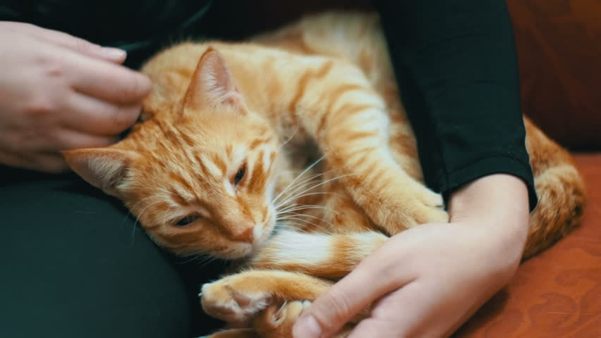 Woman Stroking a Red Cat Lying on the Couch. Close Up. The cat lies on the upholstered furniture in the house and playing with the girl. Red-haired cat on the lap of a man.