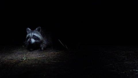 [4k raccoon stealing food off camera]raccoon stealing food off camera 4k