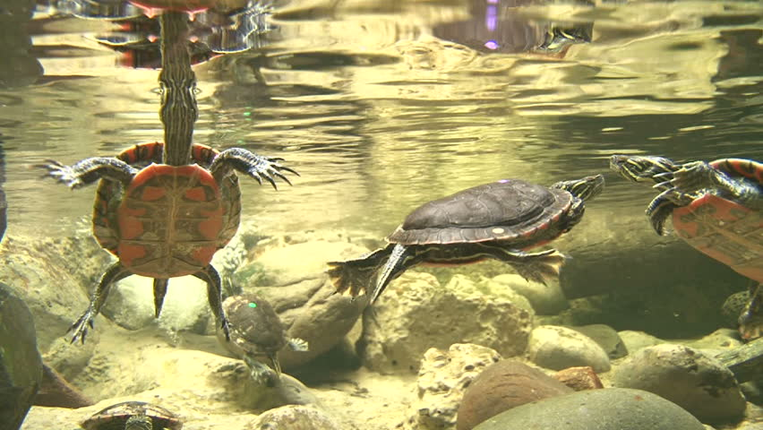 Underwater clip of small box turtles swimming together.