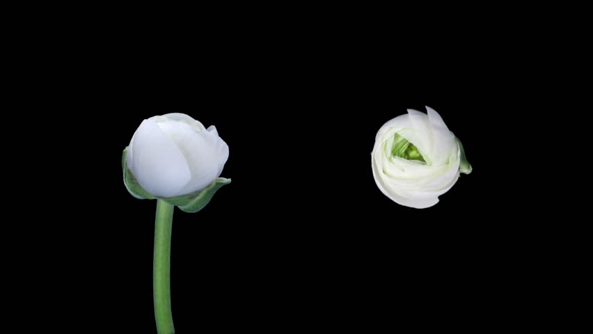 Time-lapse of opening and closing ranunculus flowers 2d3 in RGB + ALPHA matte format isolated on black background, top and front views shot with two synchronised cameras  #23094994