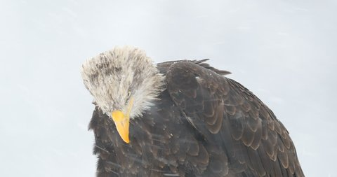 Snow storm with bald eagle. Snowflakes with Haliaeetus leucocephalus, portrait of brown bird of prey with white head, yellow bill. Cold winter with eagle. Detail portrait of bird with snowflakes.