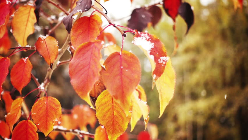 First autumn snowfall. Snow is falling on autumn trees.