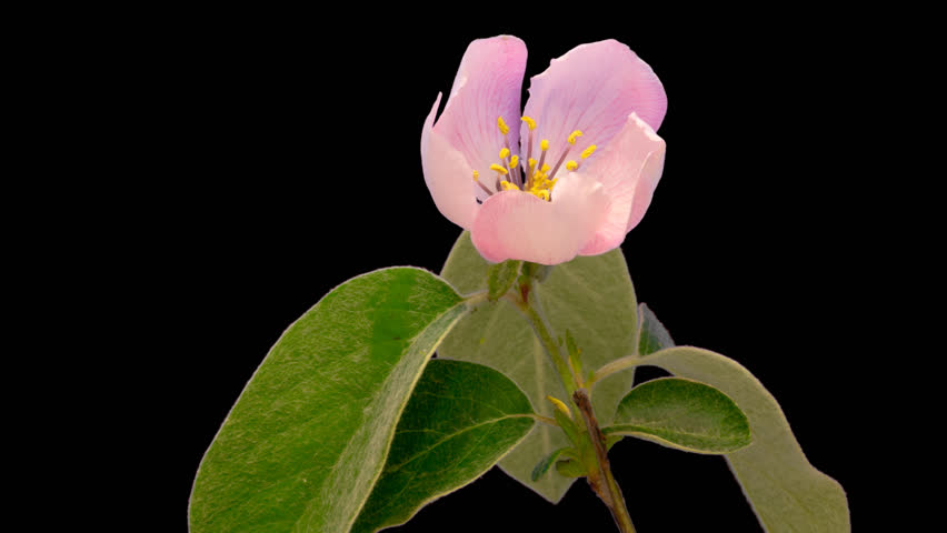 Quince flower timelapse cut out, encoded with photo png, transparent background 4k video at 25 fps/Quince flower cut out timelapse.  #23225740