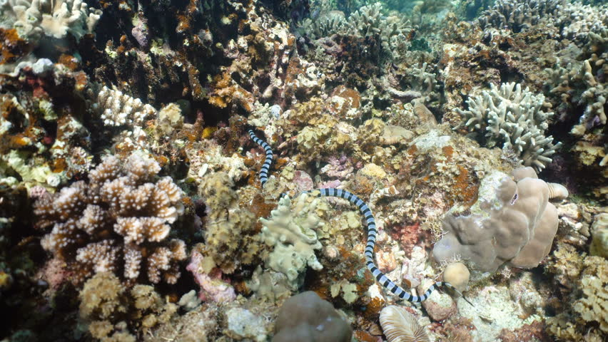 Sea snake on coral reef. Banded Sea Snake underwater.Wonderful and beautiful underwater world. Diving and snorkeling in the tropical sea. 4K video. #23271643