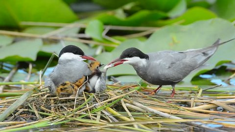 common terns taking care of its chicks in the nest and bringing them little fish (sterna hirundo)