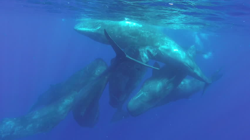 A pod of sperm whale calves and juveniles socializing at the surface in clear blue waters off the north western coast of Mauritius.
