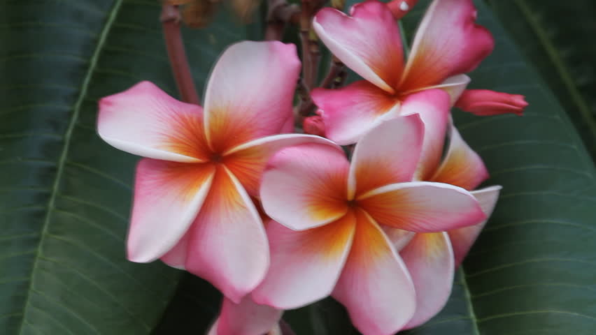 Pink frangipani | Shutterstock HD Video #2341019