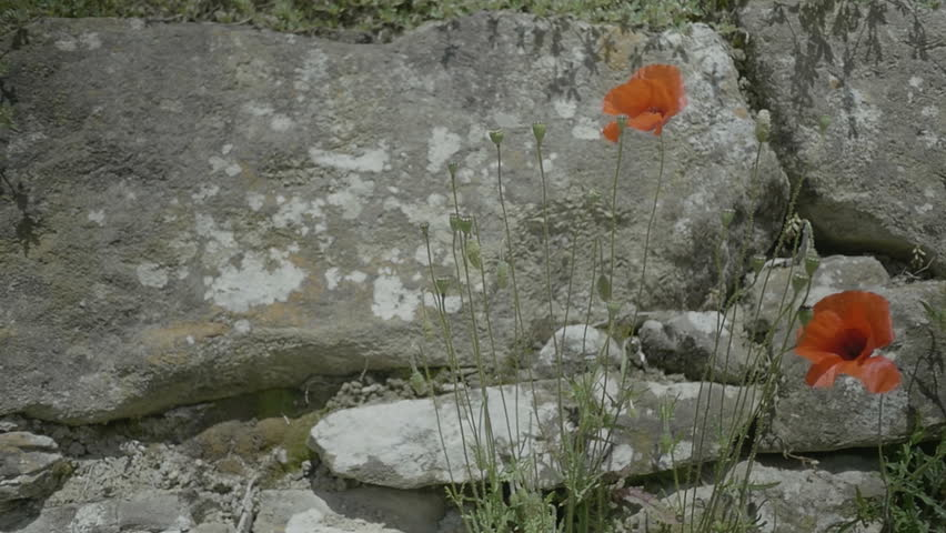 Medium handheld shallow depth of field slow motion shot of poppies growing against a countryside rock wall during a sunny day in spring.