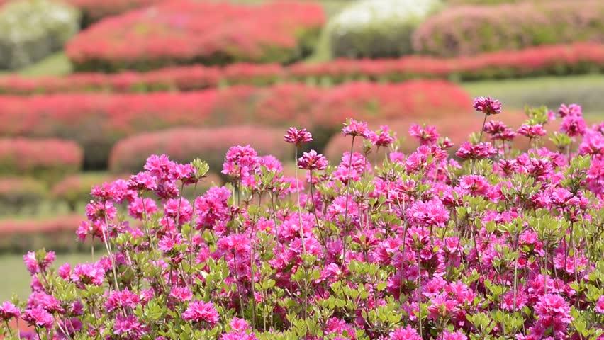 Bright pink azalea flowers in front of red azalea garden