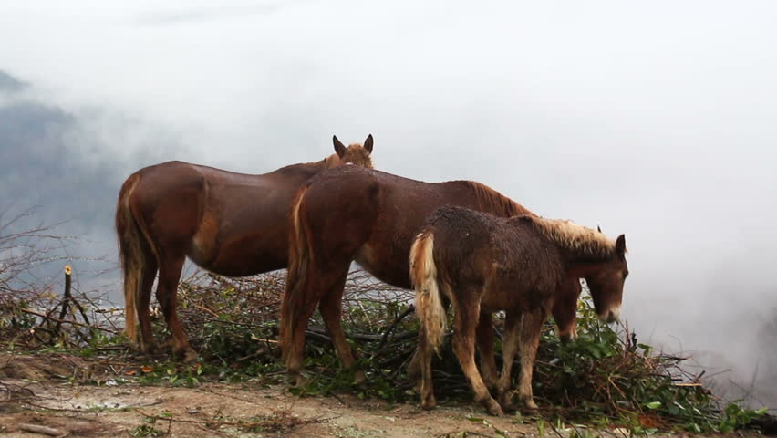 Brown horses on the high mountain fog background. | Shutterstock HD Video #23511256