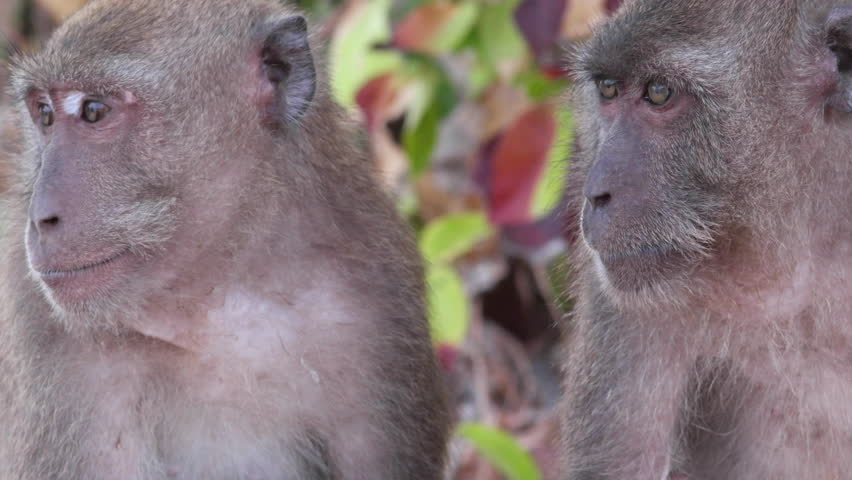 Pair of wild rhesus monkeys in natural setting of rainforest looking around.