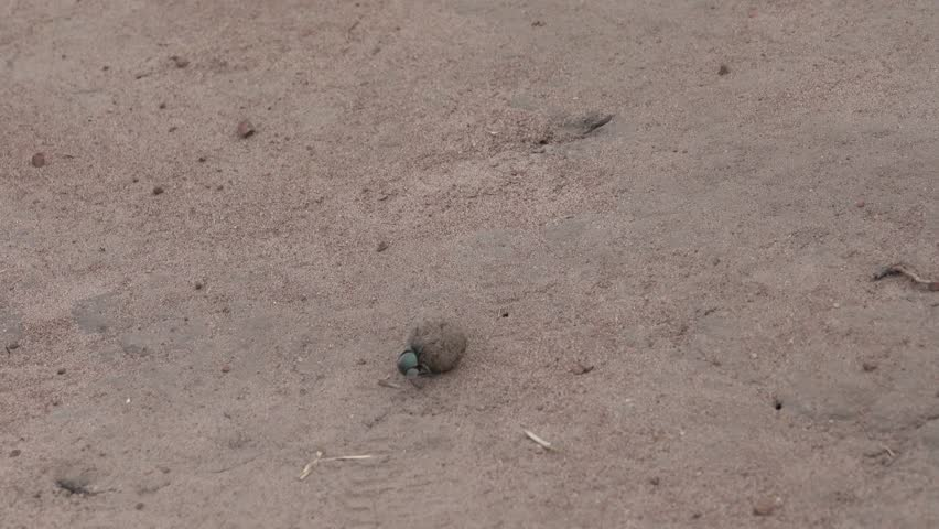 Dung beetle, Family Scarabaeidae, green, fast,  ball-roller rolls dung, Africa, Rwanda
