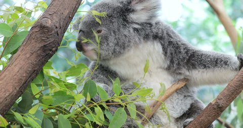 Cute koala bear eating green fresh eucalyptus leaves, Australia