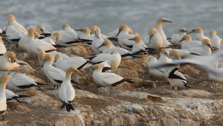 Sula serrator - Australian Gannet - takapu gannets on the nesting place in New Zealand (Muriwai beach)