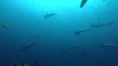 School of hammerhead sharks swimming in the blue - underwater shot