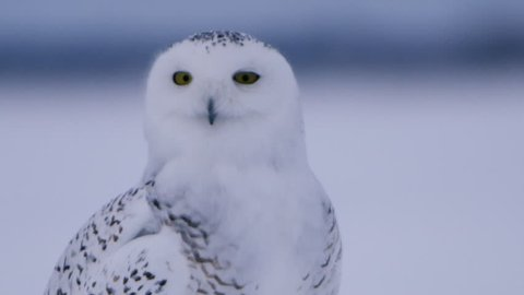 Snowy owl close up turning head
