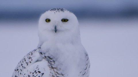 Snowy owl close up turning head
