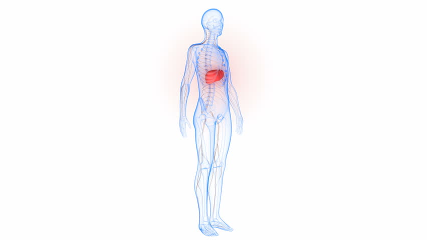Human Body Organs Anatomy (Liver with nervous system). 3D   Shutterstock HD Video #23676289