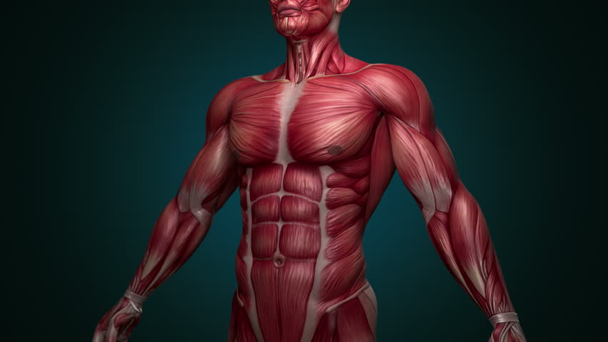 Muscular System upper body animation, with alpha. Camera rotation showing all the muscles, in slow motion. Alpha included in the second sequence.