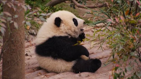 Panda Cub Try to Eat Bamboo Leaves. (MS)