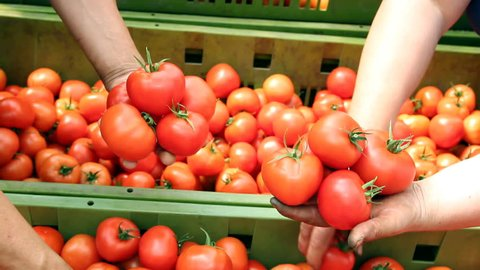 Freshly harvested tomato in worker's hands.  Food industry. Agricultural production. Ripe tomato. HD1080p.