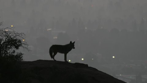 Howling coyote silhouetted in predawn light above the San Fernando Valley area of Los Angeles.