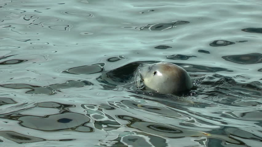Seals swimming, beautiful reflections on water surface