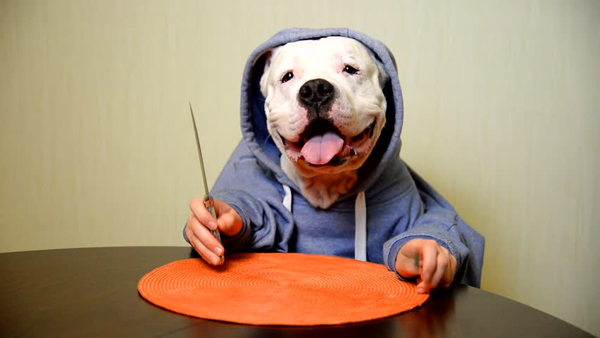 Staffordshire terrier eating with a knife and fork  | Shutterstock HD Video #23823829