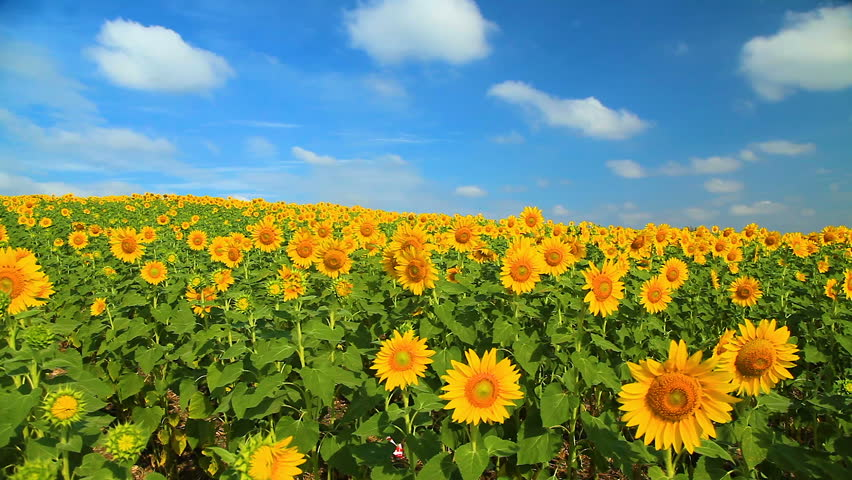 Wonderful view of sunflowers field under blue sky, Nature summer landscape