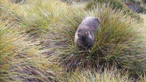 Wombat (Vombatus ursinus) in  Cradle Mountain National Park, Tasmania, Australia