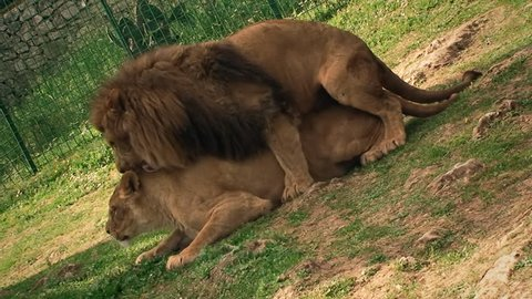 A lion and a lioness (feline beasts) mating and chilling.