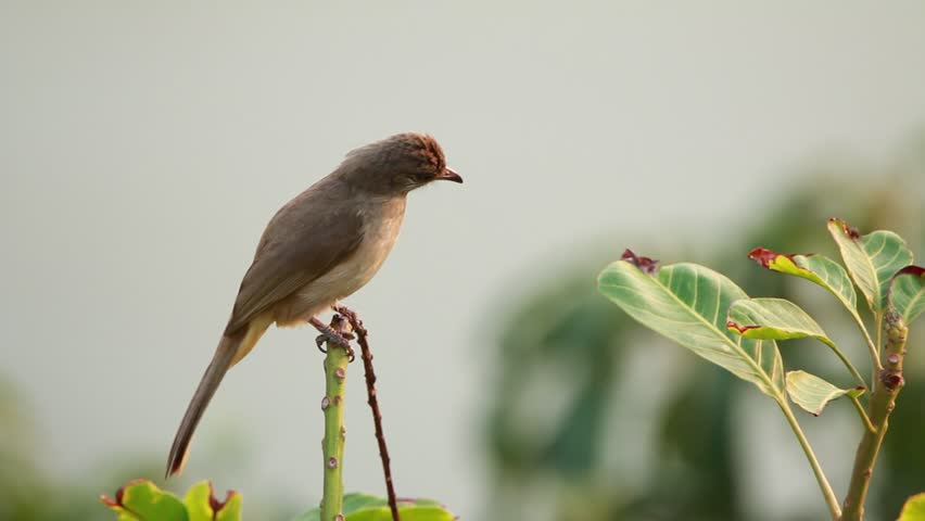 Bulbul on branch in nature   Shutterstock HD Video #23957719