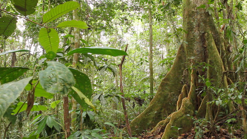 Large tree with buttressed roots in primary tropical rainforest, Ecuador