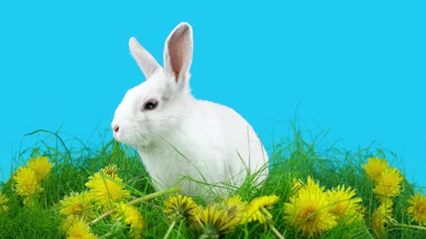 Funny bunny washing his face, sitting in the green grass with dandelions, spring time, on blue chroma key