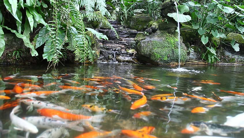Beautiful golden koi fish in the fish ponds stock footage for Koi pond maker